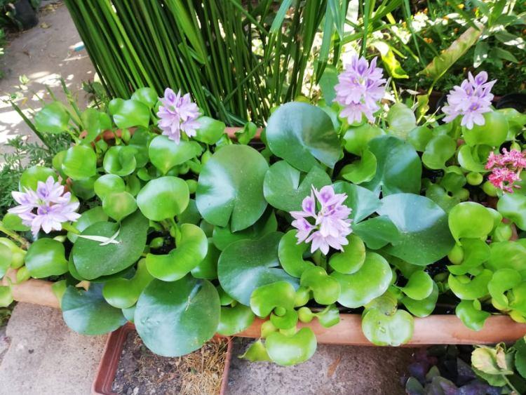 In primavera  estate il Giacinto d'acqua produce un' infiorescenza costituita da una spiga di fiori molto appariscenti di colore blu-viola, con macchie gialle sulla sommità dei petali superiori.