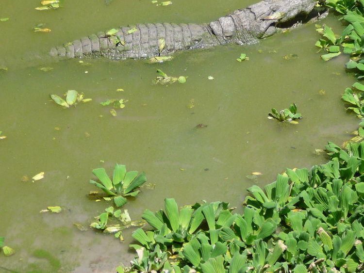 Pistia stratiotes nel bacino del coccodrillo sacro di Kachikally, Bakau, Gambia Atamari CC BY-SA 3.0