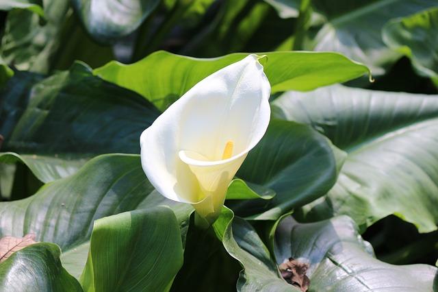 Calla, Zantedeschia AethiopicaFoto di Sanam Maharjan da Pixabay