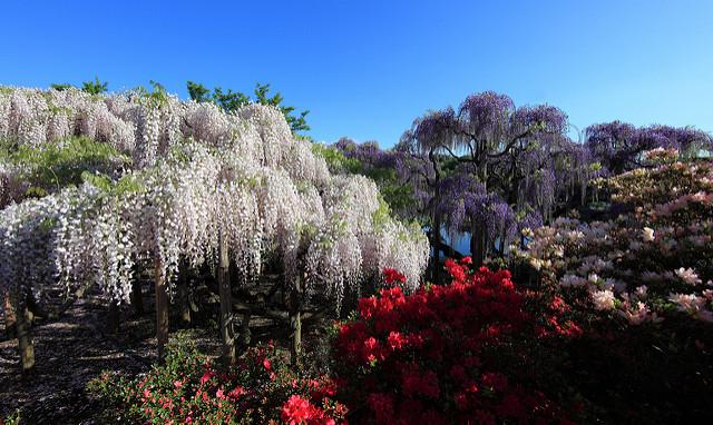 Japanese wisteria / Wisteria floribunda – foto di TANAKA Juuyoh – (CC BY 2.0)