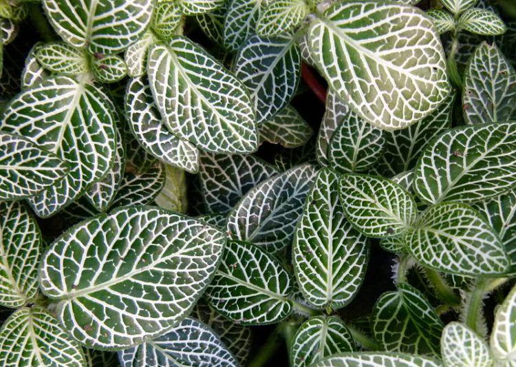 Fittonia argyroneura – Dinkum CC0 1.0