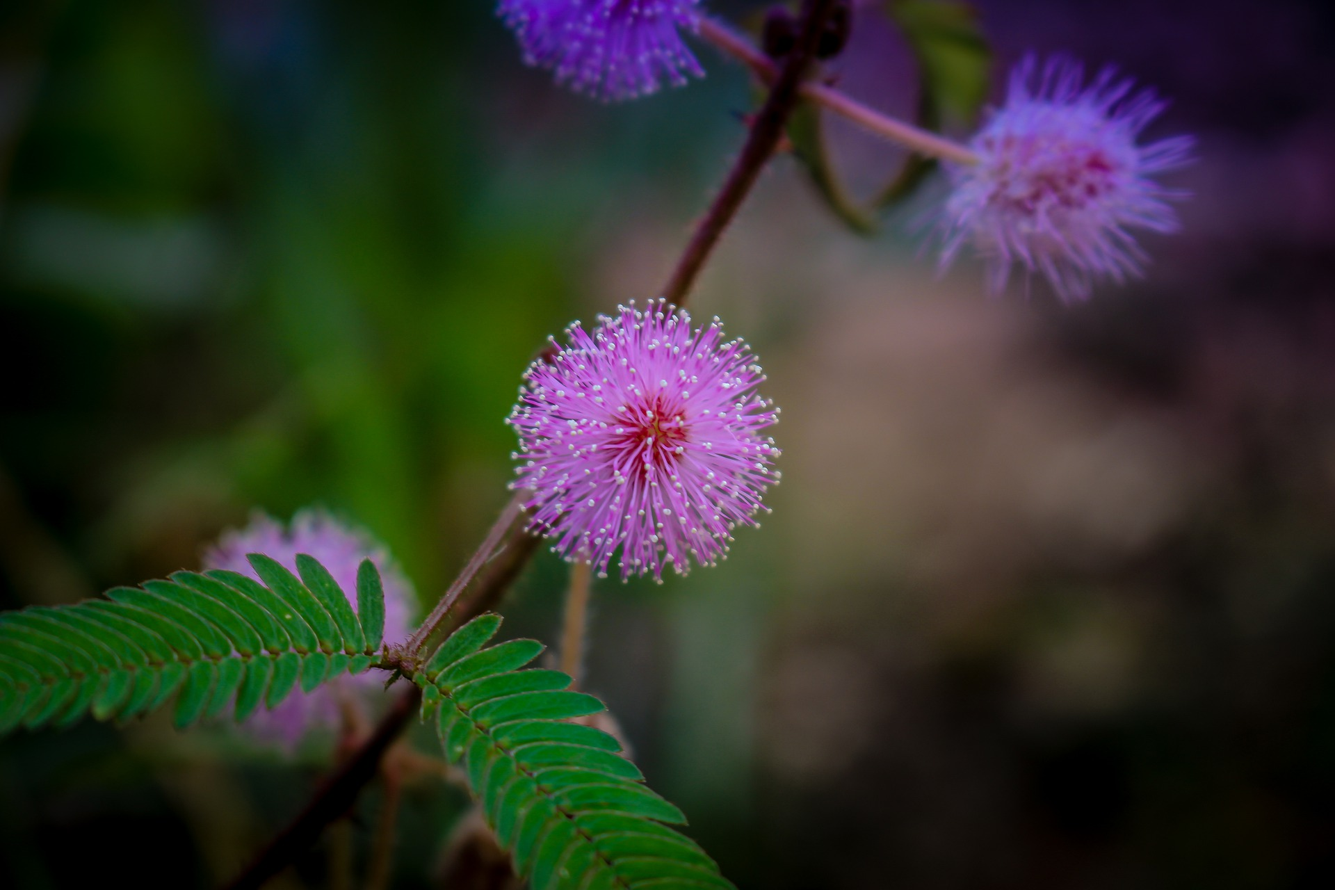 Come coltivare la Mimosa pudica la pianta sensitiva