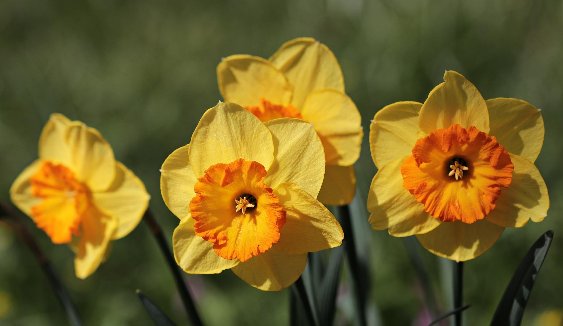 Narciso il fiore della  primavera come coltivarlo