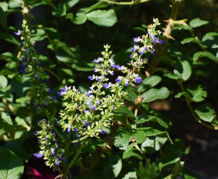 Fioritura pianta di Coleus