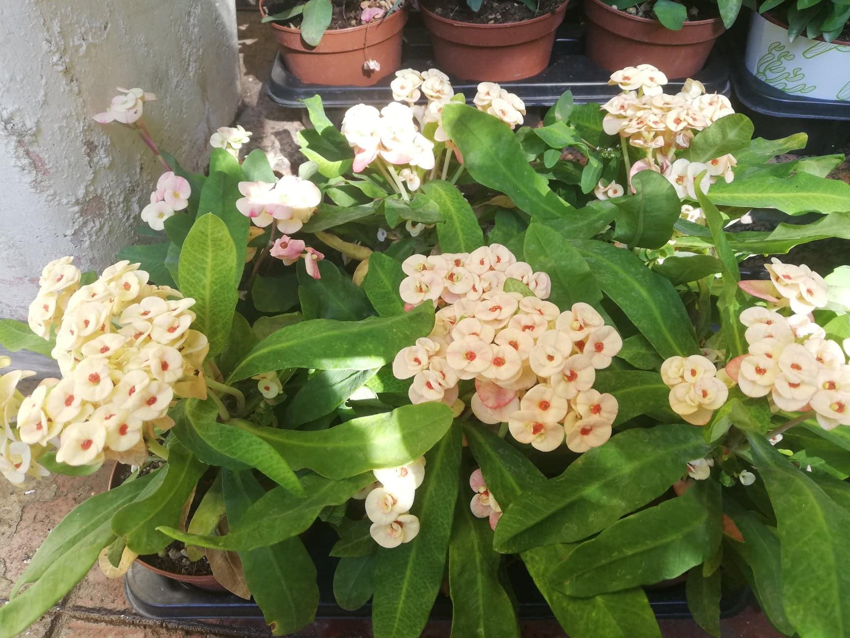 Euphorbia milii conosciuta anche come la corona di Cristo
