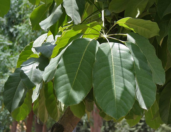 Foglie di Schefflera actinophylla