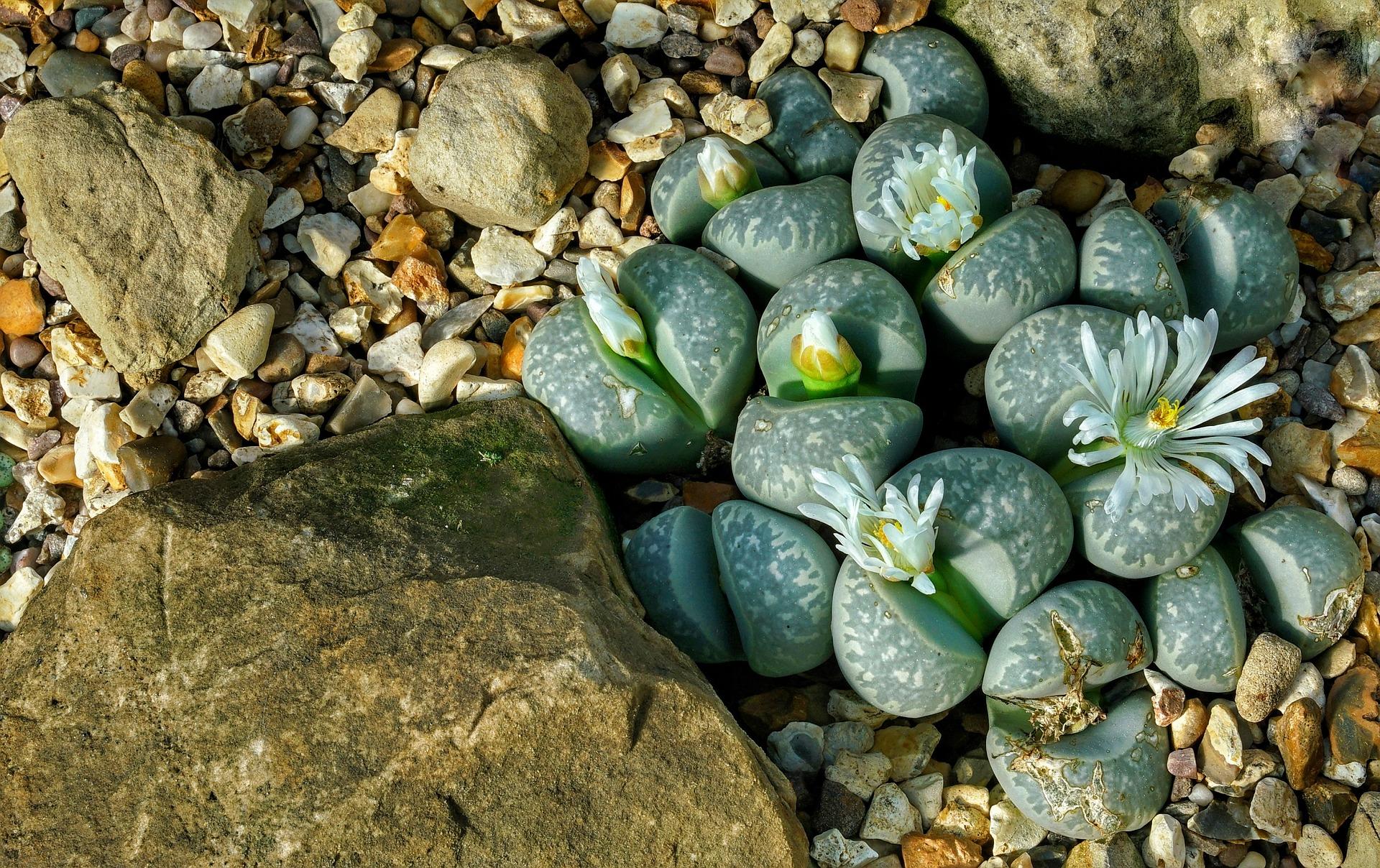 Lithops i sassi viventi del deserto come curarli e coltivarli