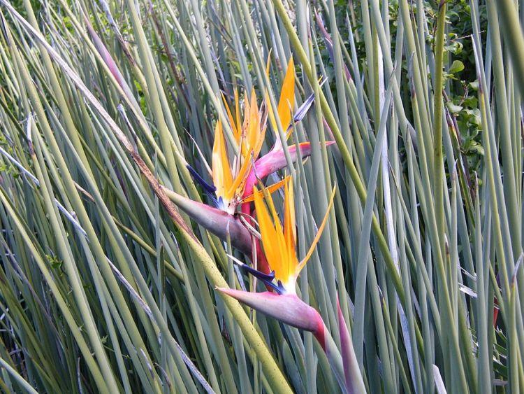 Fiori della Strelitzia juncea nei giardini botanici di Kirstenbosch,Cape Town.