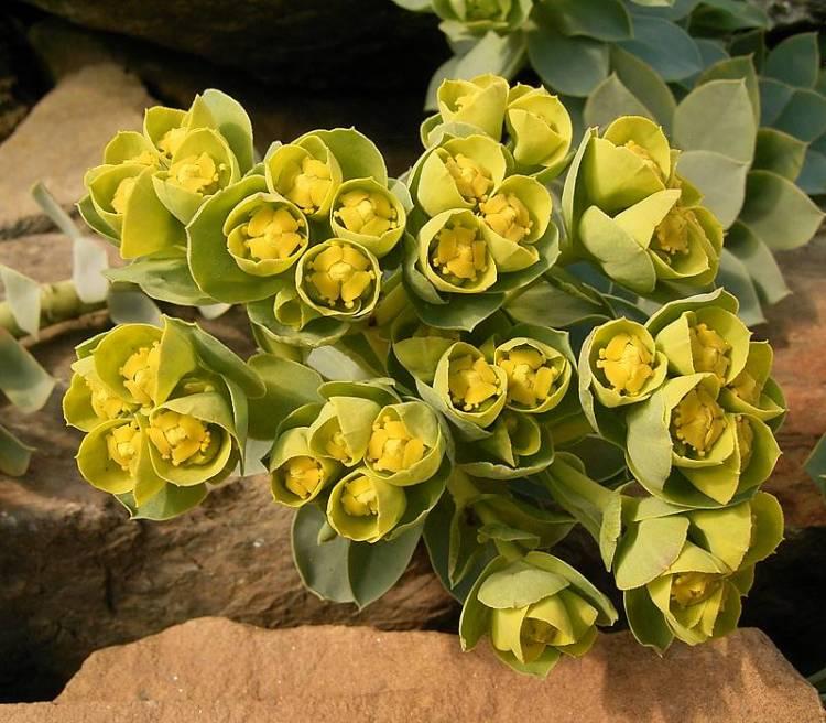Euphorbia myrsinites fioritura