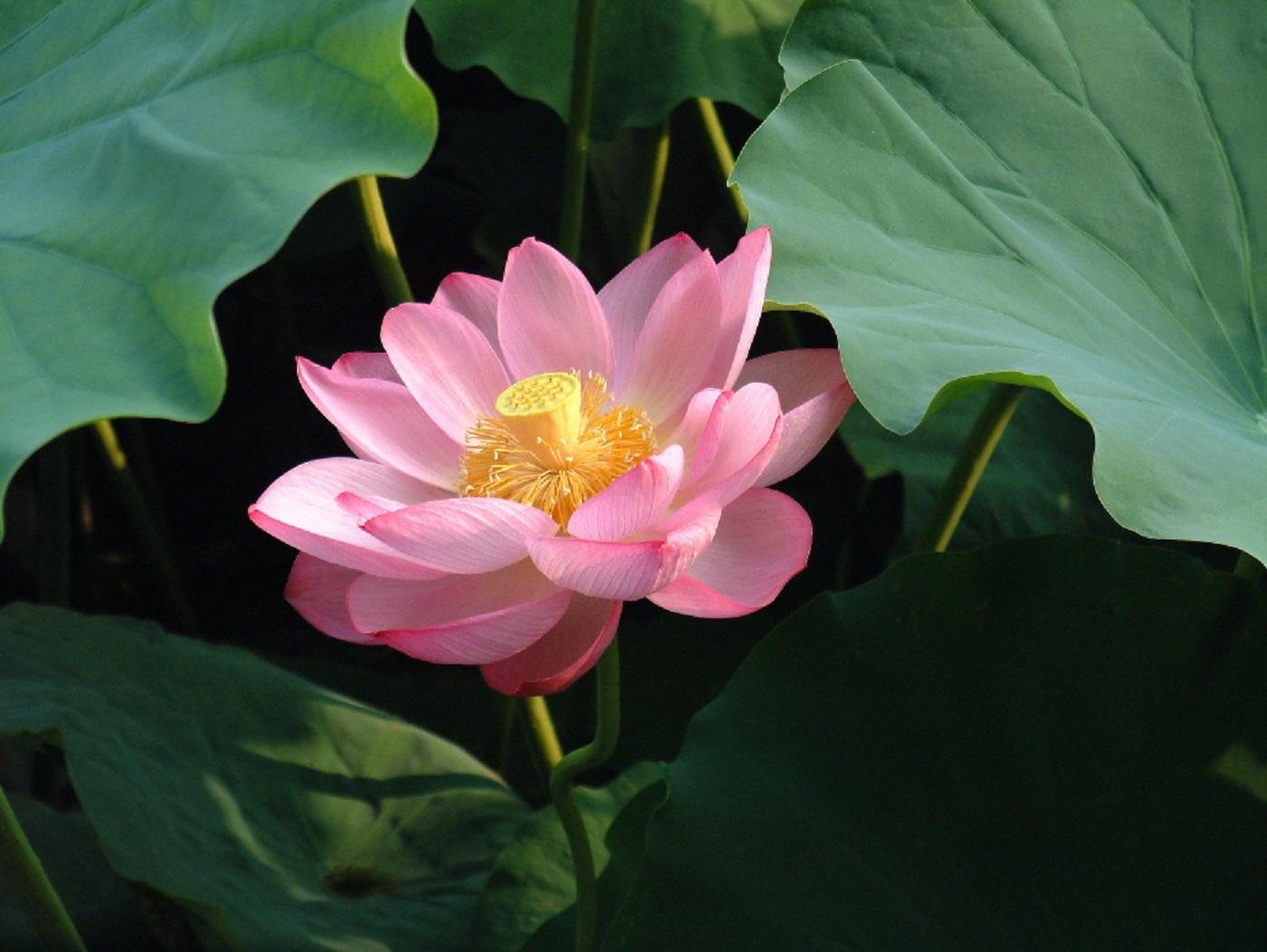 Il fior di loto asiatico (Nelumbo nucifera)