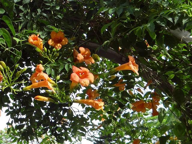 Bignonia Grandiflora Campsis