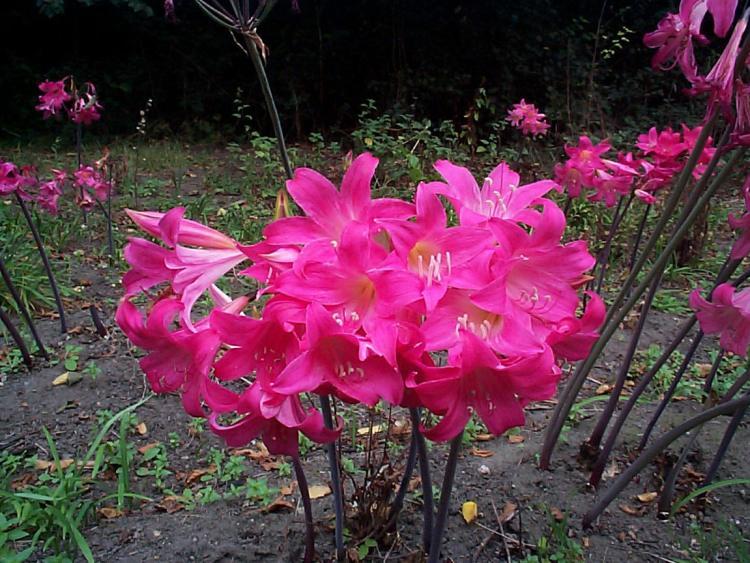 Amaryllis Cultivar a fiore rosa scuro