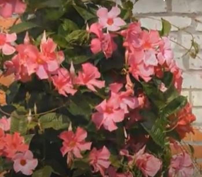 Dipladenia splendens (Mandevilla Splendens)