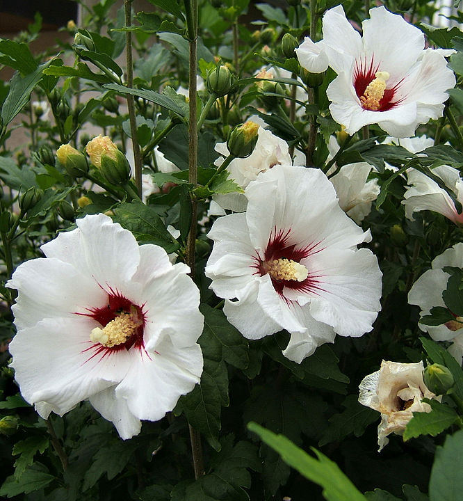 Ibiscus syriacus  Rose of Sharon