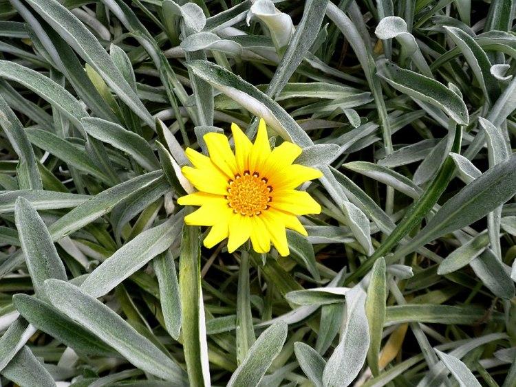 Gazania rigens var. uniflora nel Parco Botanico di Maspalomas