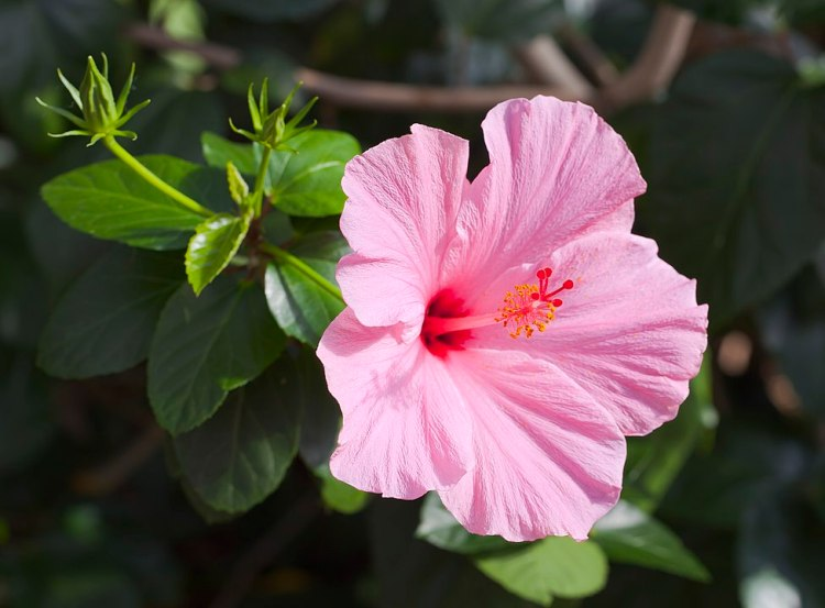 Ibiscus rosa-sinensis della varietà 'Cayena' Botanic Conservatory, Fort Wayne, USA .