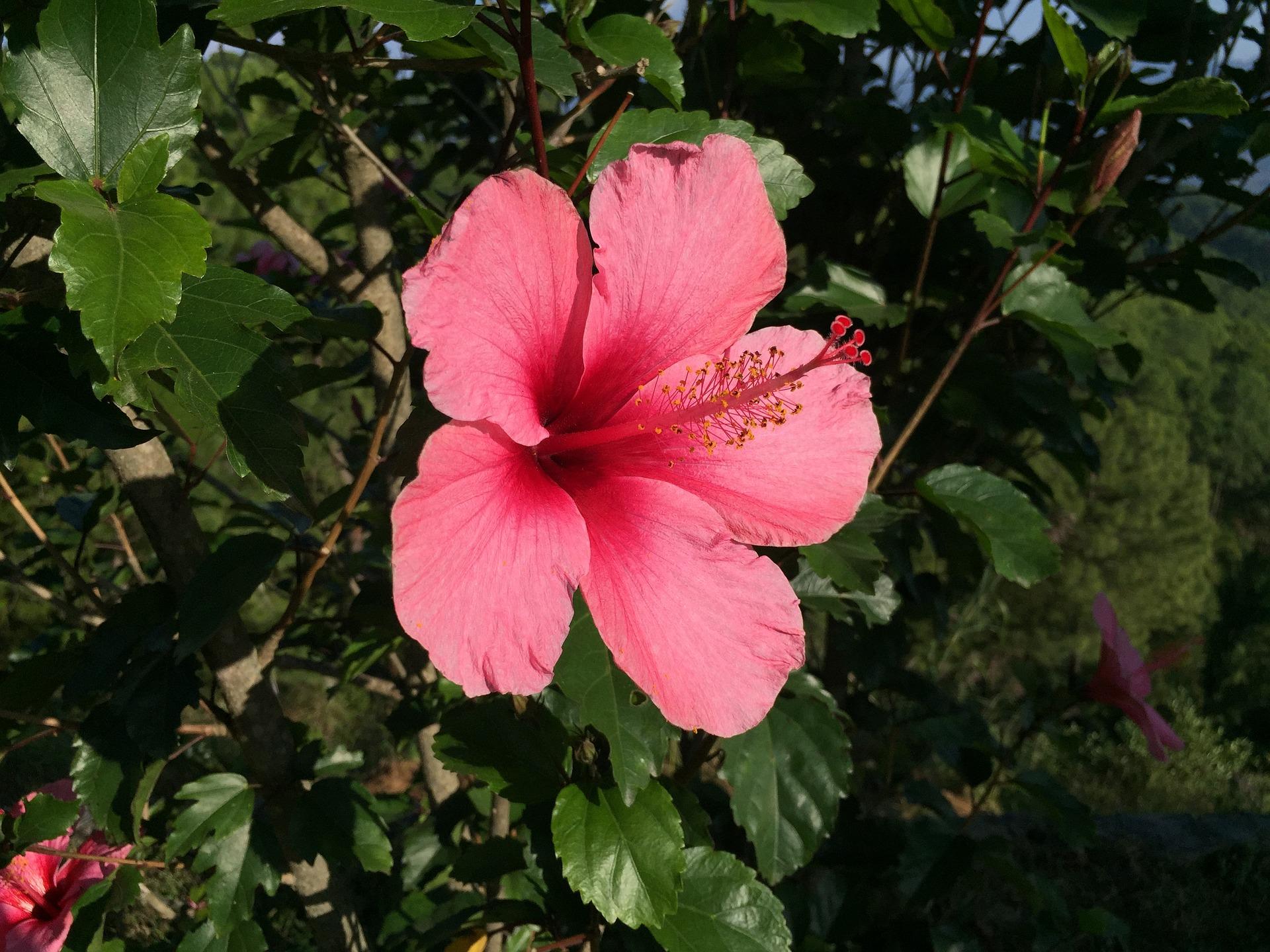 Ibiscus: coltivare il fiore che nel linguaggio dei fiori simboleggia la bellezza