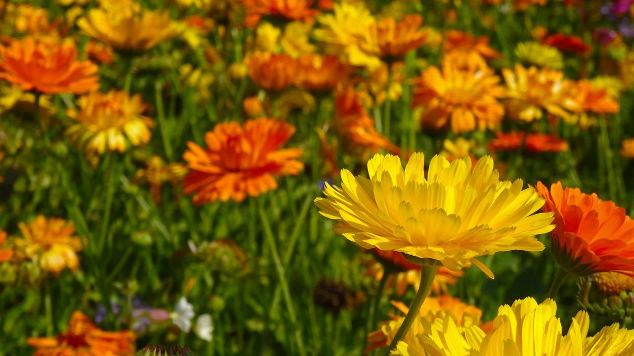 Calendula come  coltivarla in vaso e in giardino