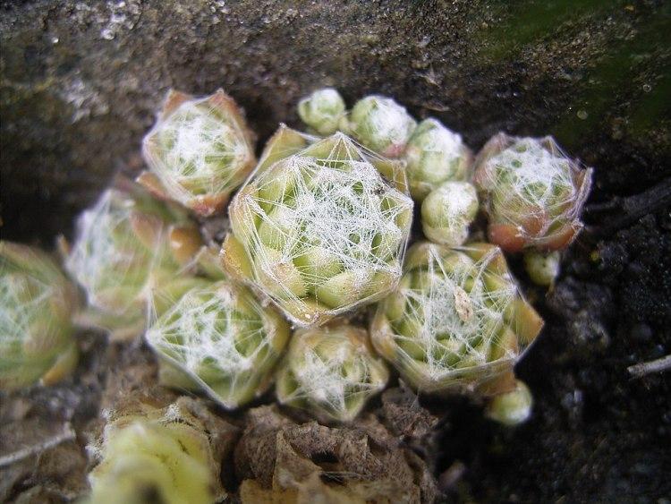 Rosette di Sempervivum arachnoideum