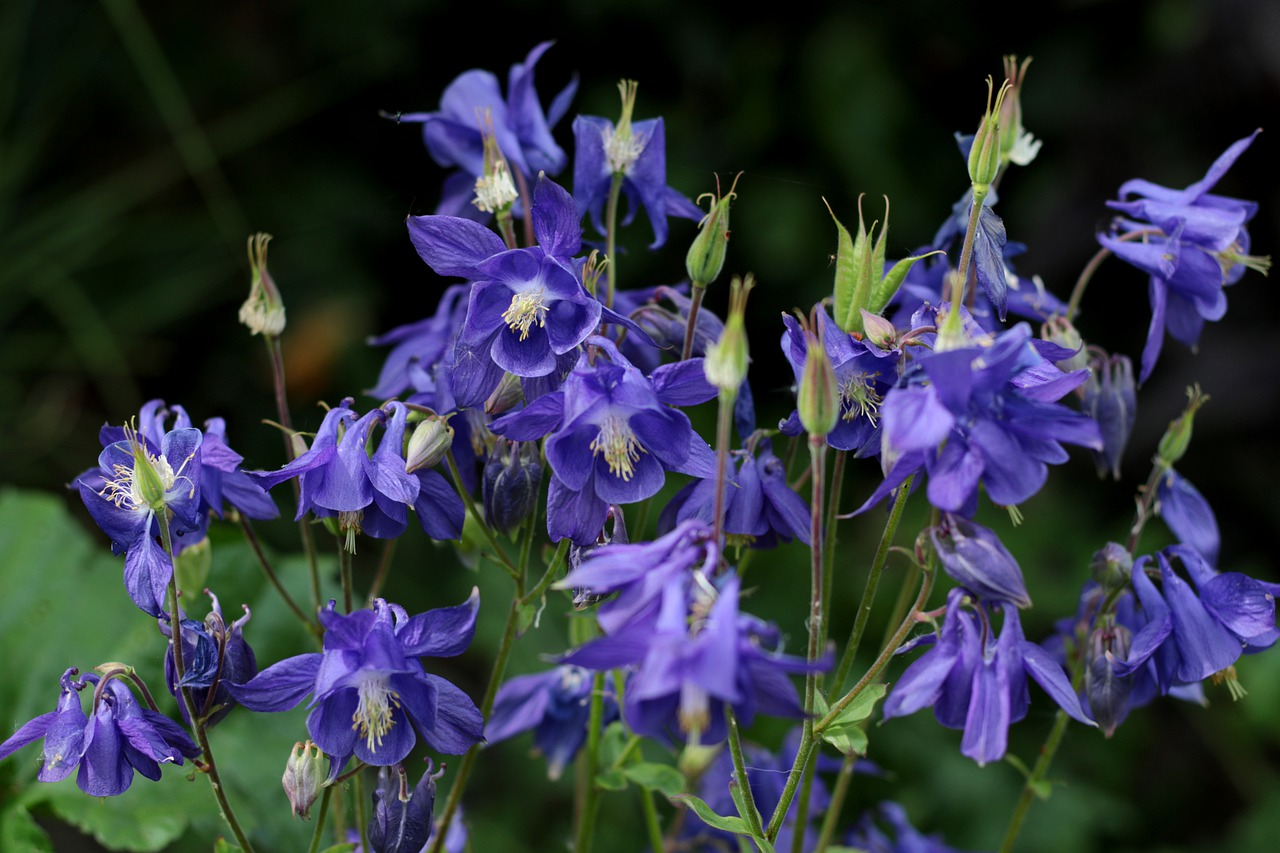 Aquilegia pianta fiorifera molto decorativa e spettacolare