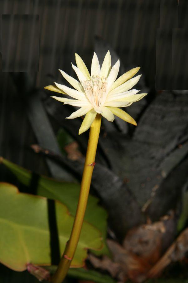 Epiphyllum phyllanthus pianta fiorita del Mato Grosso, Brasile