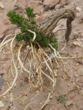 Desert plants try to grow in Petra - some find success - by Anika Mikkelson - Miss Maps - www.MissMaps.com