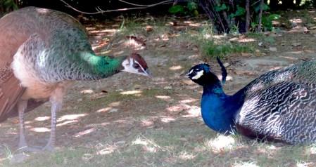 Peacock in Porto Portugal - July 2015