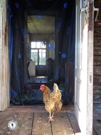The rooster always wanted to get inside the house - and succeeded a few times - South Estonia - by Anika Mikkelson - Miss Maps - www.MissMaps.com