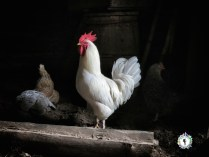 The rooster and three hens in the barn - South Estonia - by Anika Mikkelson - Miss Maps - www.MissMaps.com