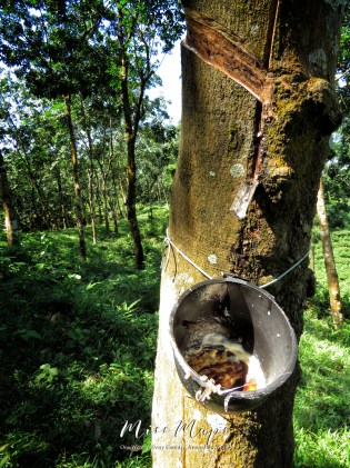 Collected Rubber from the Rubber Tree - Sylhet Bangladesh - by Anika Mikkelson - Miss Maps - www.MissMaps.com