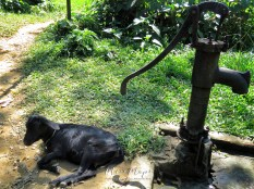 Goat and Water Pump at the Tea Garden of Sylhet Bangladesh - by Anika Mikkelson - Miss Maps - www.MissMaps.com