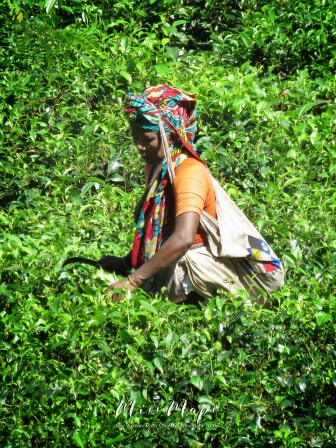 Woman Cutting Tea Leaves - Sylhet Bangladesh - by Anika Mikkelson - Miss Maps - www.MissMaps.com