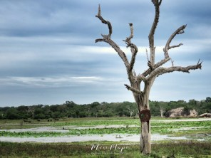 Lone Tree in a peaceful part of the park - Yala National Park - Sri Lanka - by Anika Mikkelson - Miss Maps - www.MissMaps.com
