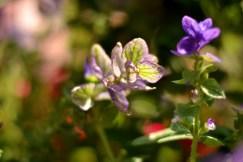 Purple flowers on the Royal Mile