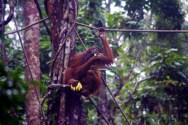Orangutans at Semenggoh Wildlife Centre