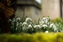 Snowdrops at St Edmund's church