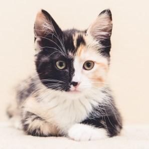 Calico Kitten Closeup