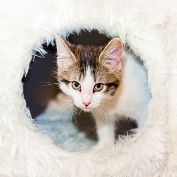 White & Tabby Kitten
