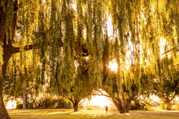 Weeping willow branches in sunlight