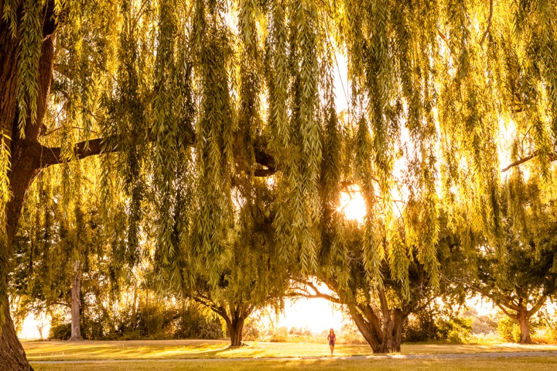 Amazing Weeping Willow Wall Art Pictures Inspiration - Wall Art ...
