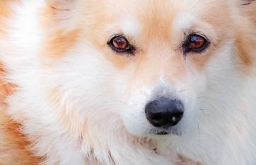 Corgi eyes