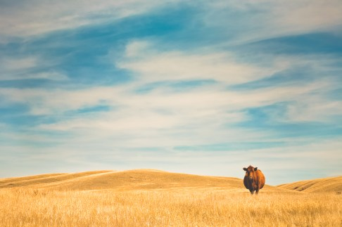 A Red Angus cow stands alone in a golden pasture of grass.