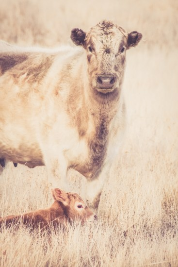 A pretty Charolais cow standing watch over her newborn calf
