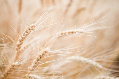 Golden heads of wheat ready for harvest