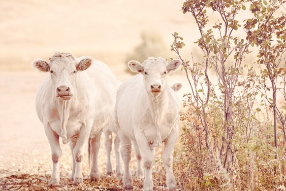 Pretty Charolais cows on a Montana ranch