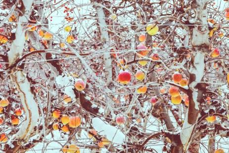 Frozen apples left behind from last harvest