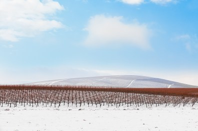 Bare grapevines in a snowy winter orchard in eastern Washington state