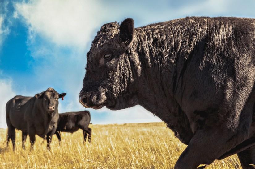 Black Angus bull walking