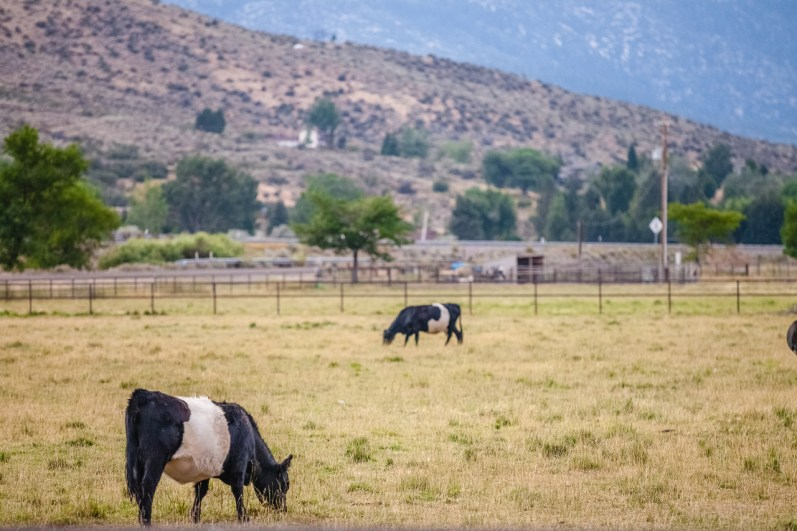 Belted Galloway cattle grazing a Nevada pasture