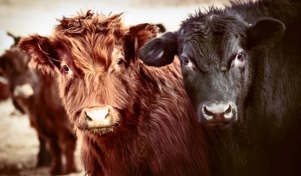 Two cows looking at you.